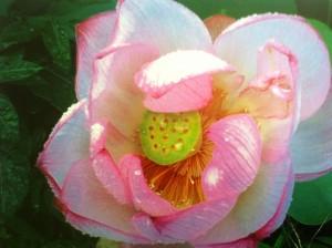 Lotus July 9 2013