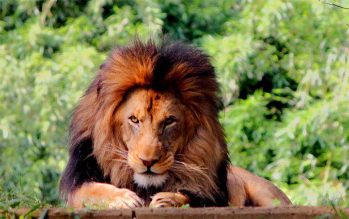 Nam Myoho Renge Kyo is like the roar of the lion